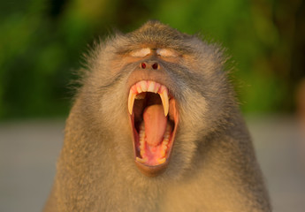 Portrait of an adult yawning monkey. Fangs of the macaque. Ubud, Bali, Indonesia.