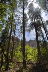 Forest at Oak Creek Canyon Sedona Arizona
