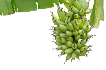 Unripe bananas bunch isolated on white