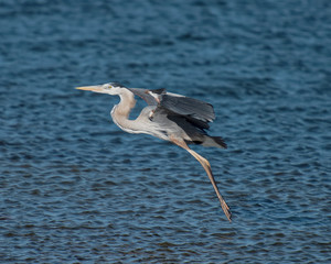 Great blue heron's feet are lowered for landing at dusk
