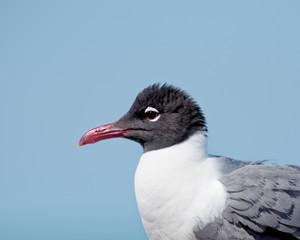 Seagull mohawk