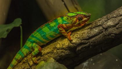 Warsaw Zoo Chameleon I