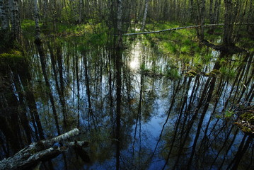 Spring flooded coastal birch forest early morning
