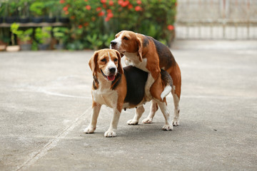 purebred beagle dog are now receptive in mating, friendship between two beagle dogs, dog breeding