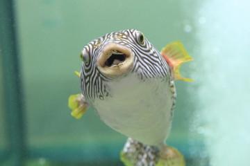 Reticulated pufferfish (Arothron reticularis) in Japan