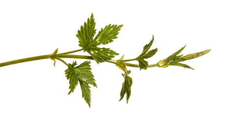 Plant hop with green leaves. Isolated on white background