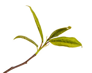 Little green leaves on a bird cherry branch. Isolated on white background