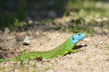 Lézard vert occidental (Lacerta bilineata)