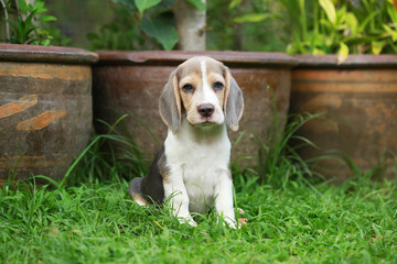 strong purebred silver tri color beagle puppy in action, 2 months cute male beagle puppy