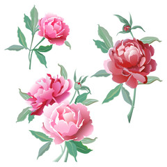 A set of flowers. Pink peonies.