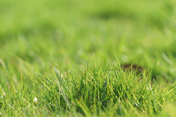 green grass in first warm spring sunny days, closeup shot
