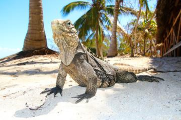Cyclura nubila, Cuban rock iguana