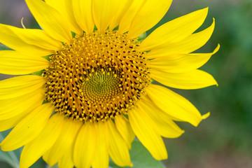 nature,flower,close up