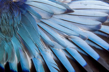 Feathers of European roller Wall mural