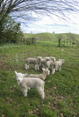 Poster Sheep Lambs in New Zealand paddicks