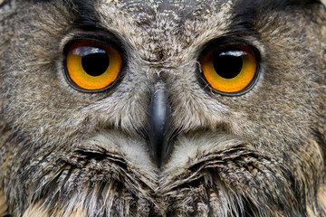 Photo Blinds Owl Portrait of Euroasian Eagle Owl