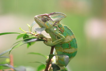 Veiled chameleon (Chamaeleo calyptratus) in Republic of Yemen