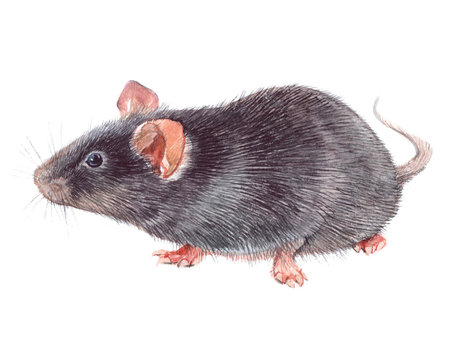 Watercolor single mouse animal isolated on a white background illustration.
