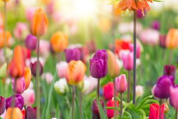 Obraz Piękny widok kolorowych tulipanów - fototapety do salonu