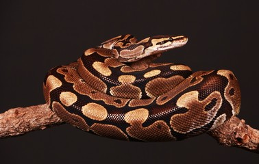 hübsche python liegt verschlungen auf einem Ast im schwarzen studio