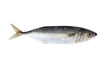 Indian Mackerel Fish isolated on white background.