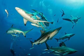 Oceanic Blacktip Shark