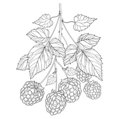 Vector bunch with outline Raspberry with ripe berry and leaves in black isolated on white background. Fruit elements with raspberry in contour style for eco summer design and coloring book.