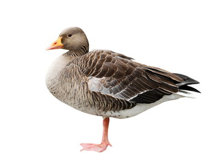 Greylag goose isolated on white, Anser anser