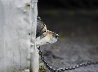 sad dog looks out of the booth on a rainy day