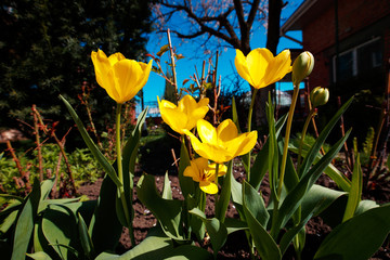 Wall Mural - Closeup wide angle photo of yellow tulips at garden, spring