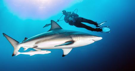 Oceanic Blacktip Shark Wall mural