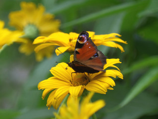 One Butterfly Collecting Nectar on a Yellow Blooming Flower