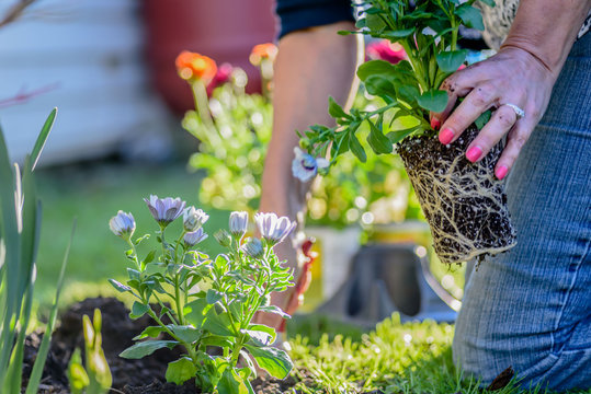 woman planting colorful spring flowers - hands only