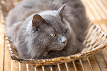 Kartäuser Katze – Portrait