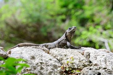 Iguana sunning himself on a Rock