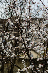 Blossoming apricot tree on spring