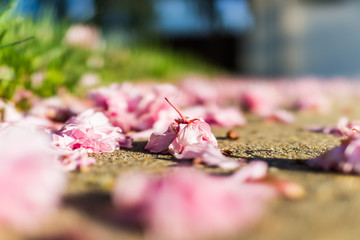 Macro closeup of fallen cherry blossom flowers on asphalt ground with bokeh
