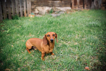 Dachshund dog in outdoor. Beautiful Dachshund standing on the green grass. Standard smooth-haired dachshund in the nature. Dachshunds. Cute little dog on nature background.