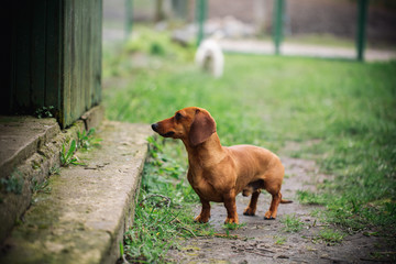 Dachshund dog in outdoor. Beautiful Dachshund standing near the house on the green grass. Standard smooth-haired dachshund in the nature. Cute little dog on nature background.