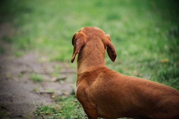 portrait in profile of Dachshund dog in outdoor. Beautiful Dachshund standing on the green grass. Standard smooth-haired dachshund in the nature. Cute little dog on nature background.