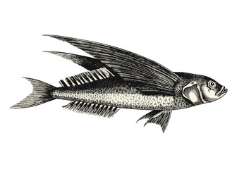 vintage animal engraving / drawing: flying fish - vector design element