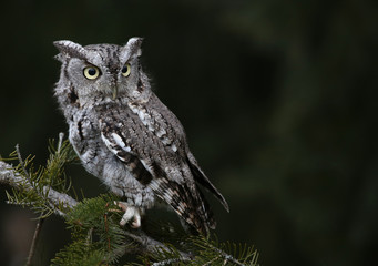 Fotoväggar - A Gray Morph of an Eastern Screech Owl (Megascops asio) sitting on spruce tree branch..