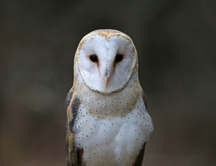 A close-up of the back of a Barn Owl (Tyto alba)..