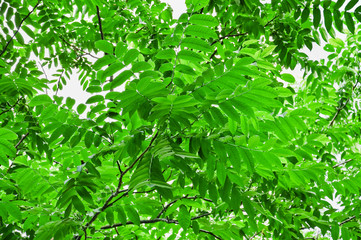 The leaves of Manchurian walnut (Juglans mandshurica).
