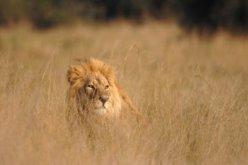Male Lion hiding in long grass