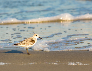 Sandpiper on the Beach