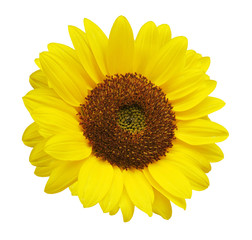 sun flower white background