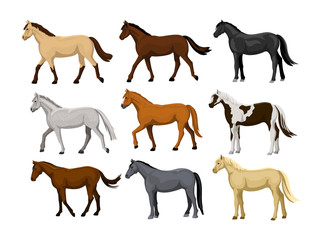 Different Horses Set in typical coat colors: black, chestnut, dapple grey, dun, bay , cream, buckskin, palomino , tobiano paint pattern