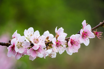 Flowers of almond tree in detail