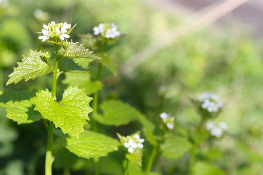 Knoblauchsrauke (Alliaria petiolata) Blüte im Frühling, Rauke in der Natur, Wildkraut in der Natur, detox und superfood für eine gesunde Ernährung, nährstoffreich essen